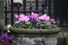 Pink cyclamen and blue violets growing in a large ceramic vase as a decoration Stock Images