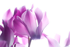 Pink cyclamen flower Stock Images