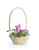 Pink cyclamen flower in basket Stock Image
