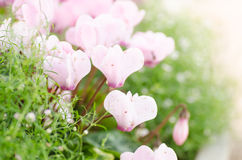 The pink Cyclamen flower Royalty Free Stock Images