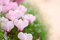The pink Cyclamen flower Royalty Free Stock Image
