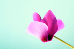 Pink cyclamen flower Stock Image
