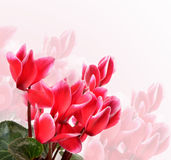 Pink cyclamen flower Stock Photography