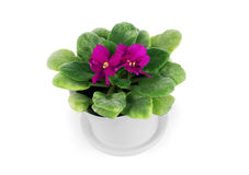 Pink cyclamen in a flower pot isolated on a white background Stock Image