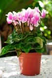 Pink Cyclamen Stock Image