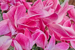 Pink cyclamen flowers closeup, strong bokeh Royalty Free Stock Images