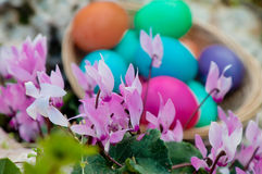 Pink Cyclamen flowers and Easter eggs Stock Photo