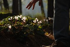 Pink Cyclamen flowers in the forest with back light and a pointing hand Stock Photography