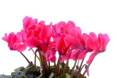 Pink cyclamen flowers isolated on white Royalty Free Stock Photos