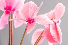 Pink cyclamen flowers with water drops on petals. On gray background Stock Photo
