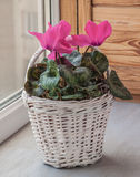 Pink cyclamen flowers in white basket on a window Stock Photography