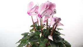 Pink cyclamen isolated timelapse stock footage