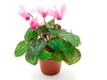 Pink cyclamen in pot Royalty Free Stock Photo