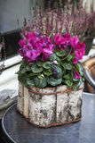 Pink cyclamen in a pot birch bark packaged as a decoration of st Royalty Free Stock Image
