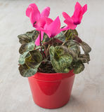 Pink cyclamen in a red pot Royalty Free Stock Image