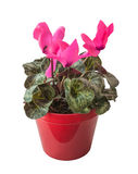 Pink cyclamen in a red pot isolated Stock Photos