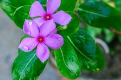 Pink Cyclamen, with variably patterned leaves and wet petal by raindrops water. Its a species of perennial flowering plant, family stock photo
