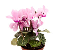 Pink cyclamen Royalty Free Stock Images