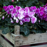 Pink cyclamen Stock Images