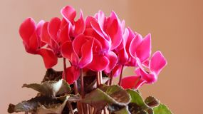 Pink cyclamens. Beautiful lot of pink cyclamens Stock Image