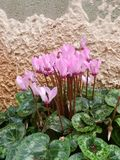 Pink Cyclamens. Bloom in winter Stock Image