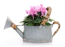 Pink cyclamens. Watering can with pink cyclamens Royalty Free Stock Photo