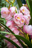 Pink cymbidium orchid flower Royalty Free Stock Photos