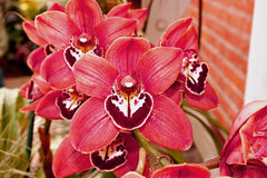 Pink Cymbidium Orchid. Rich deep tones of pink in this Cymbidium Orchid. Family Orchidaceae royalty free stock photos