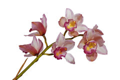Pink Cymbiudium Orchids with Green Stem on White Background Royalty Free Stock Photo