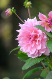 Pink Dahlia. Isolated with selective focus. Raindrops on green leaves and buds, a very large and beautiful flower Royalty Free Stock Images