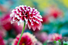 Pink Dahlia. Single pink dahlia with floral background Stock Photos