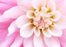 Pink dahlia. Close up. Background Royalty Free Stock Photography