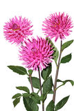 Pink Dahlia. Flower plant isolated on white Royalty Free Stock Photos