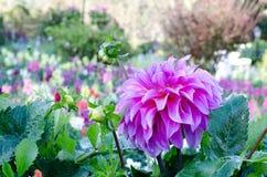 Pink Dahlia. Beautiful Pink Dahlia in garden Royalty Free Stock Photo