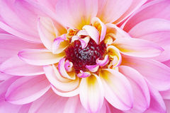 Pink Dahlia Royalty Free Stock Images