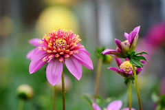 Pink Dahlia. Flower, very colorful and bright stock photo