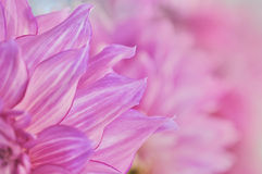 Pink dahlia. Background with soft focus Royalty Free Stock Images