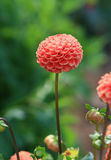 Pink Dahlia. A pink dahlia growing in a garden Royalty Free Stock Images