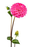 Pink dahlia. One flower on a white background Royalty Free Stock Images