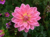Pink Dahlia. Photographed autumn 2005 in English stately home garden Stock Image