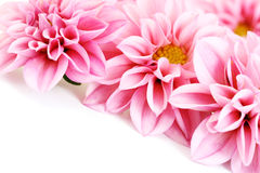 Pink dahlia. Close-ups of pink dahlia isolated on white - flowers and plants Royalty Free Stock Photo