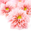 Pink dahlia. Close-ups of pink dahlia isolated on white - flowers and plants Royalty Free Stock Photography