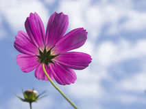 Pink dahlia against blue sky Royalty Free Stock Photos