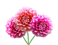 Pink Dahlia Autumn flowers isolated on white Stock Images
