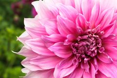 Pink dahlia ball fresh flower details macro photography with green out of focus background stock photo