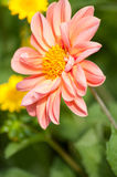Pink dahlia Stock Photography