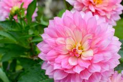 Pink Dahlia. A beautiful pink Dahlia flower Royalty Free Stock Images