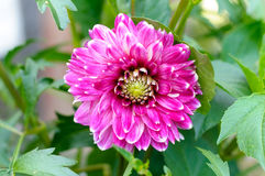 Pink dahlia. Beautiful of Pink Garden Dahlia flower blossom in the park Stock Photo