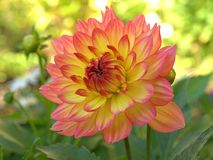 Pink Dahlia. Beautiful pink dahlia garden with a small housing estate Royalty Free Stock Image