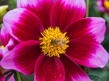 Pink dahlia with a bee. A pretty pink and yellow dahlia with a bee crawling on it Royalty Free Stock Image
